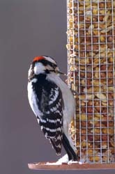 Peanut Feeder with Male Downy