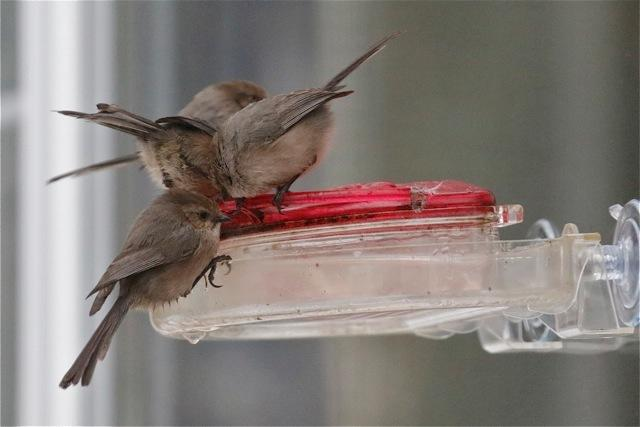 Bushtits on hummingbird feeder